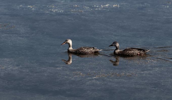 Mottled Duck Pair
