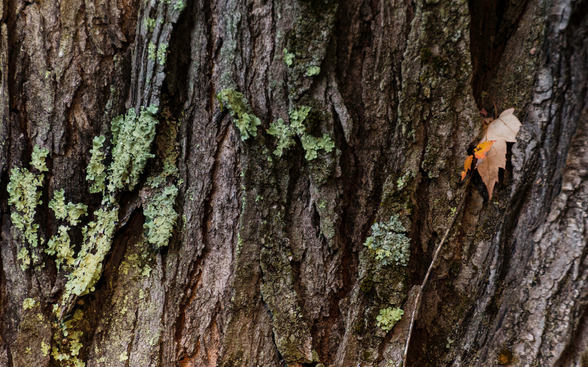Maple Bark Abstract