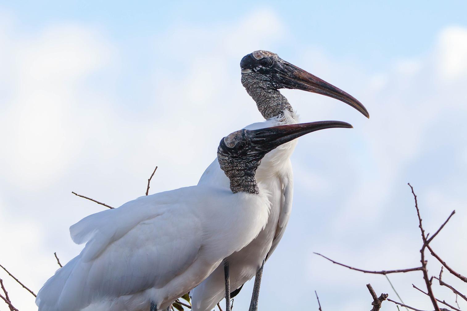 Wood Stork Pair 3