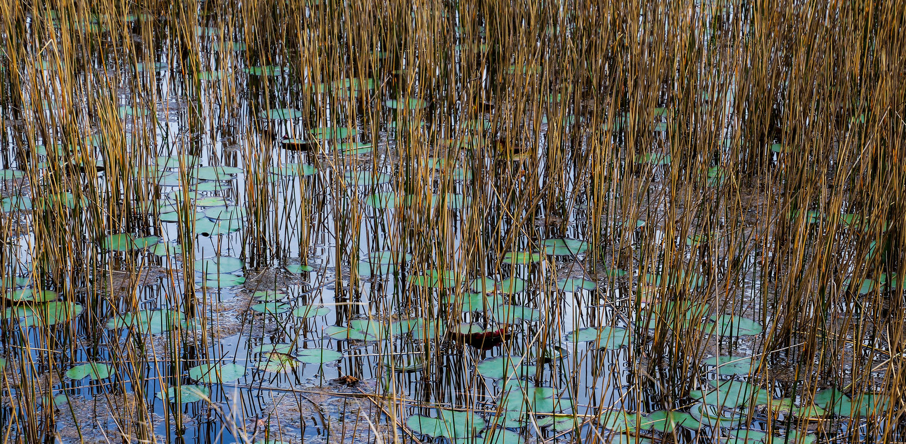 water lilies abstract