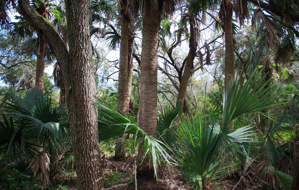 Saw Palmetto and Cabbage Palms