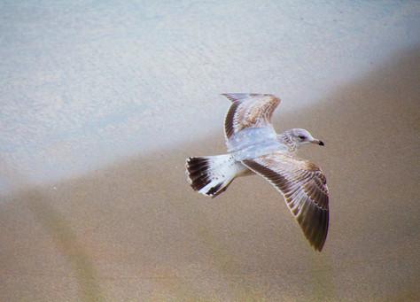 Juvenile Black Ringed Gull
