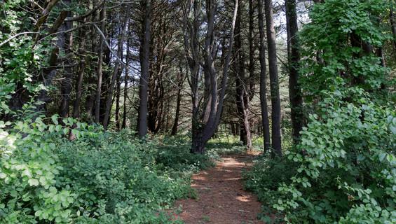 Shaggy Bark Woods