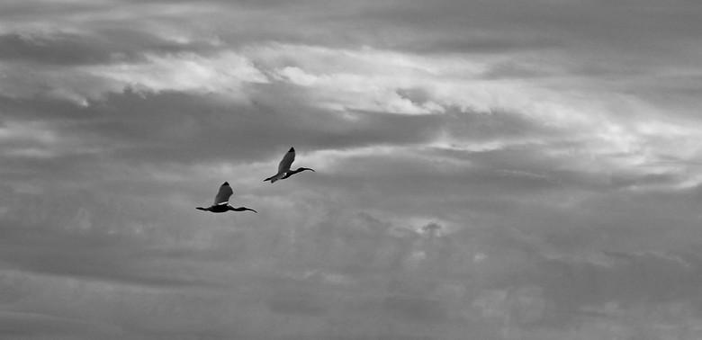 Flying Ibis Pair