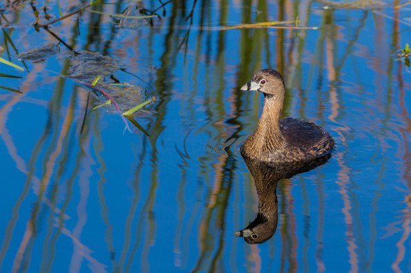 Pied Billed Grebe Reflections