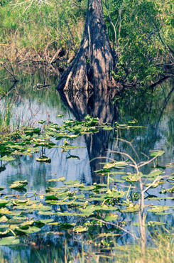 Cypress and Pond Lilies