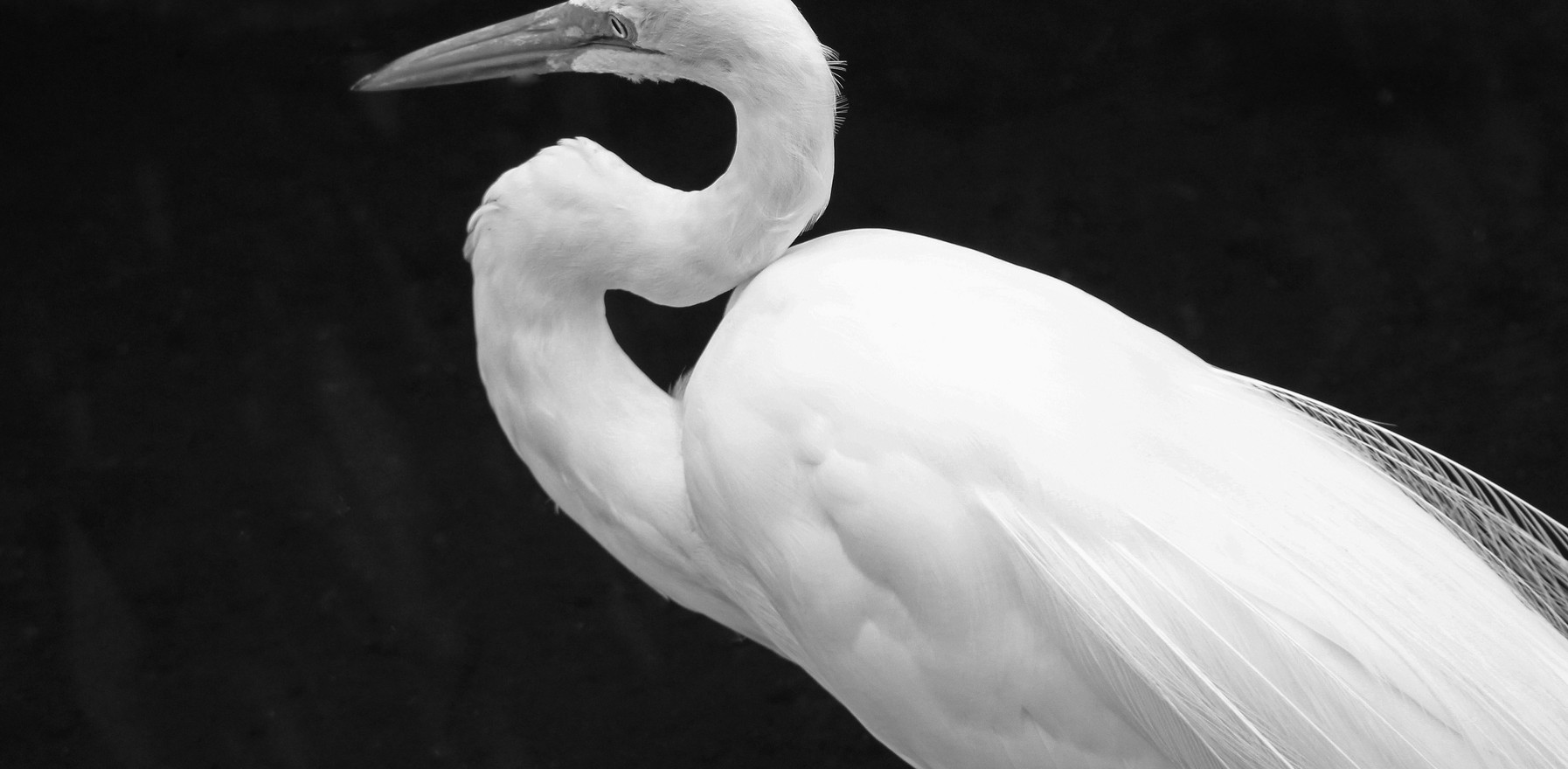 Great egret bw