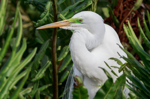 Great Egret Breedng Colors