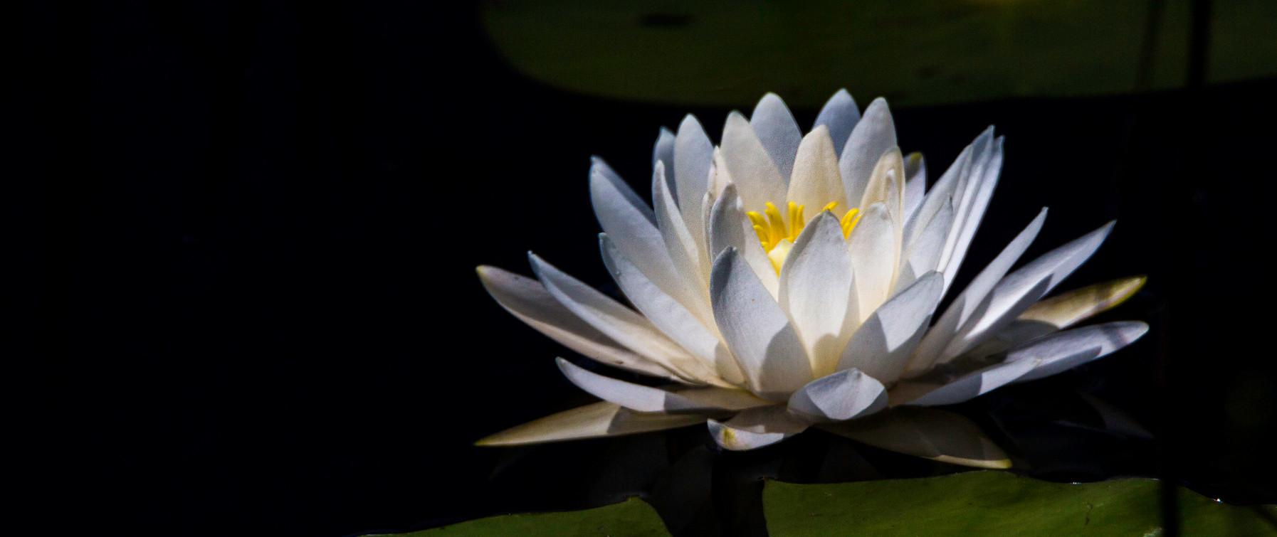 Lone Pond Lily