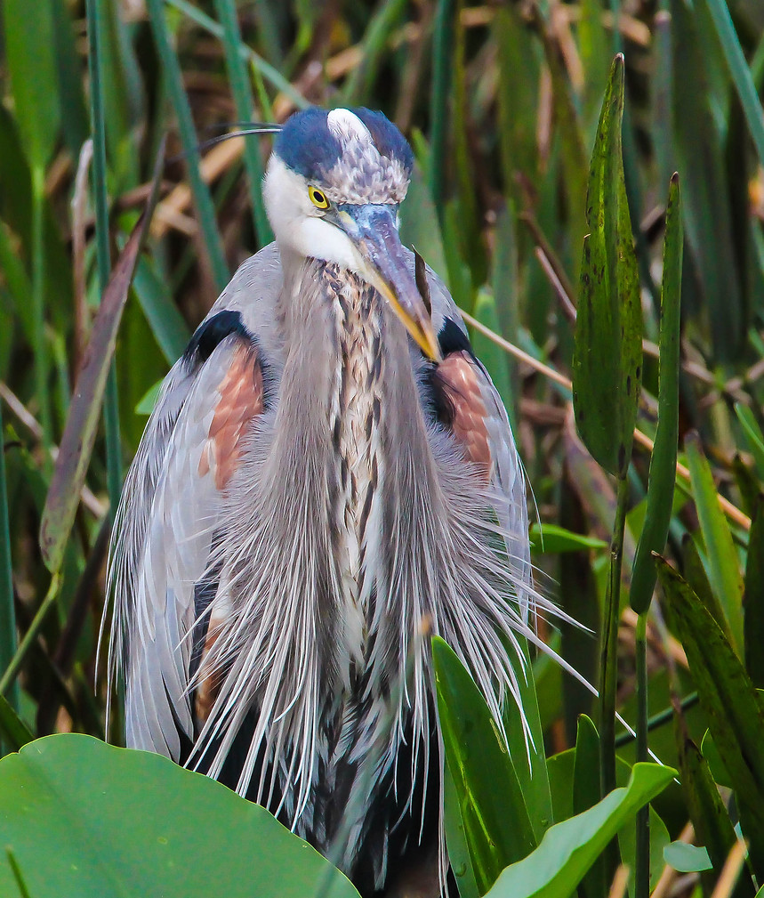 Great Blue Heron Breeding Plumage