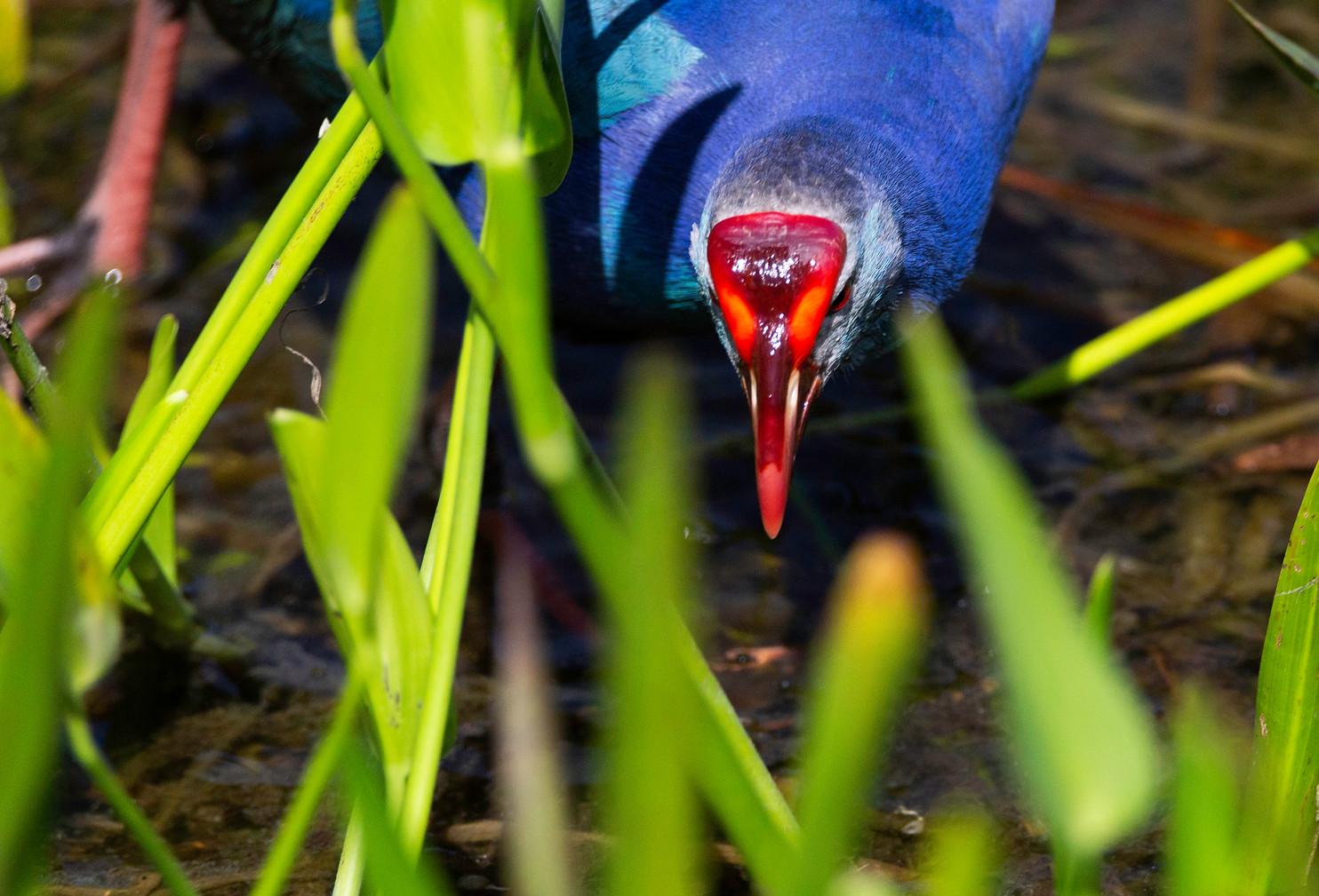 Purple Swamphen foraging