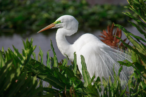 Great Egret Breedng 2