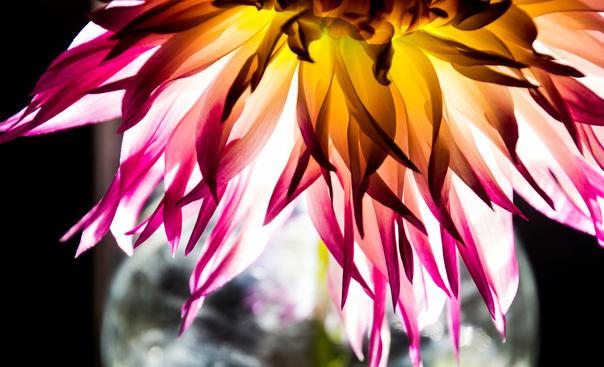 Dahlia in Vase  art