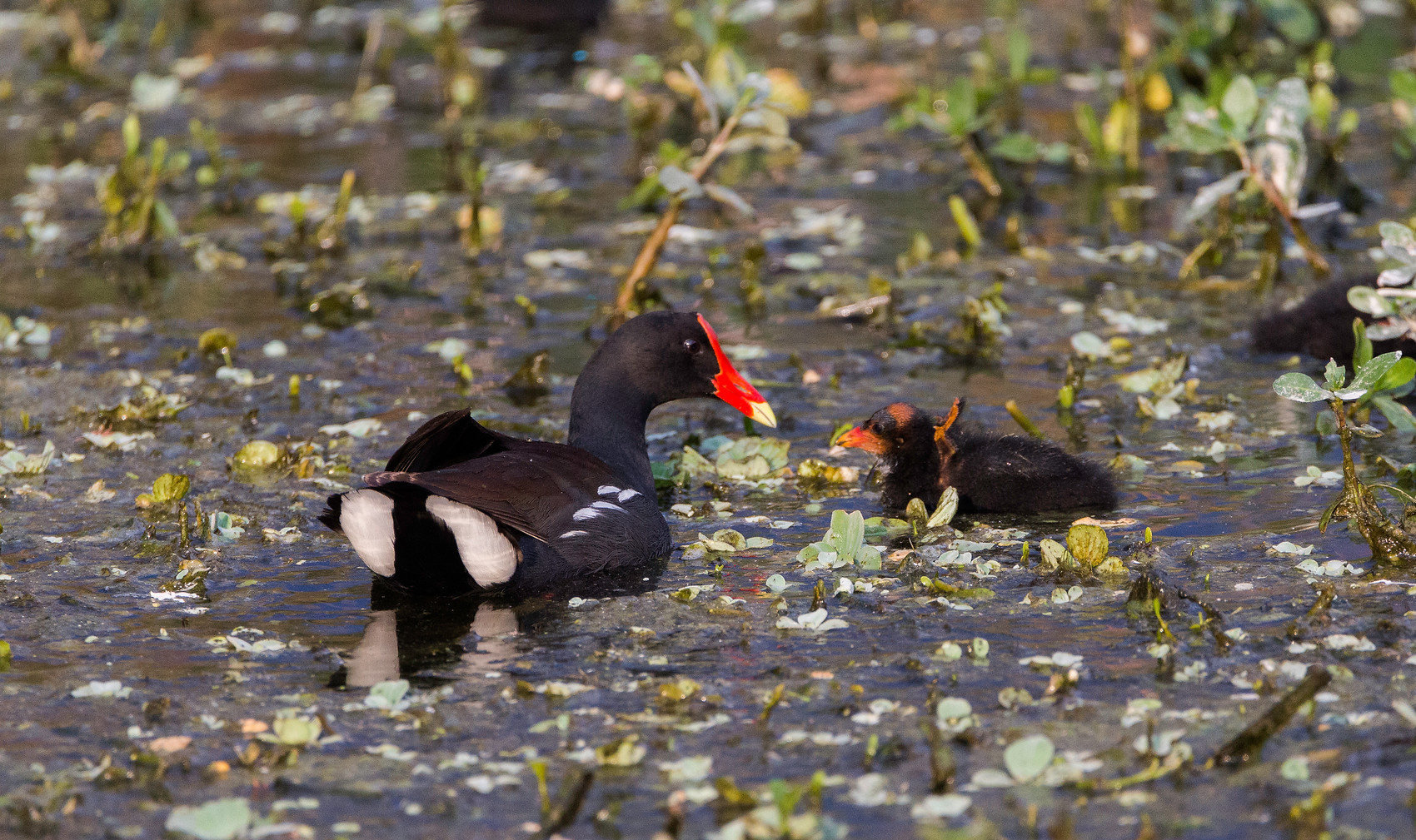 Moorhen with Chick