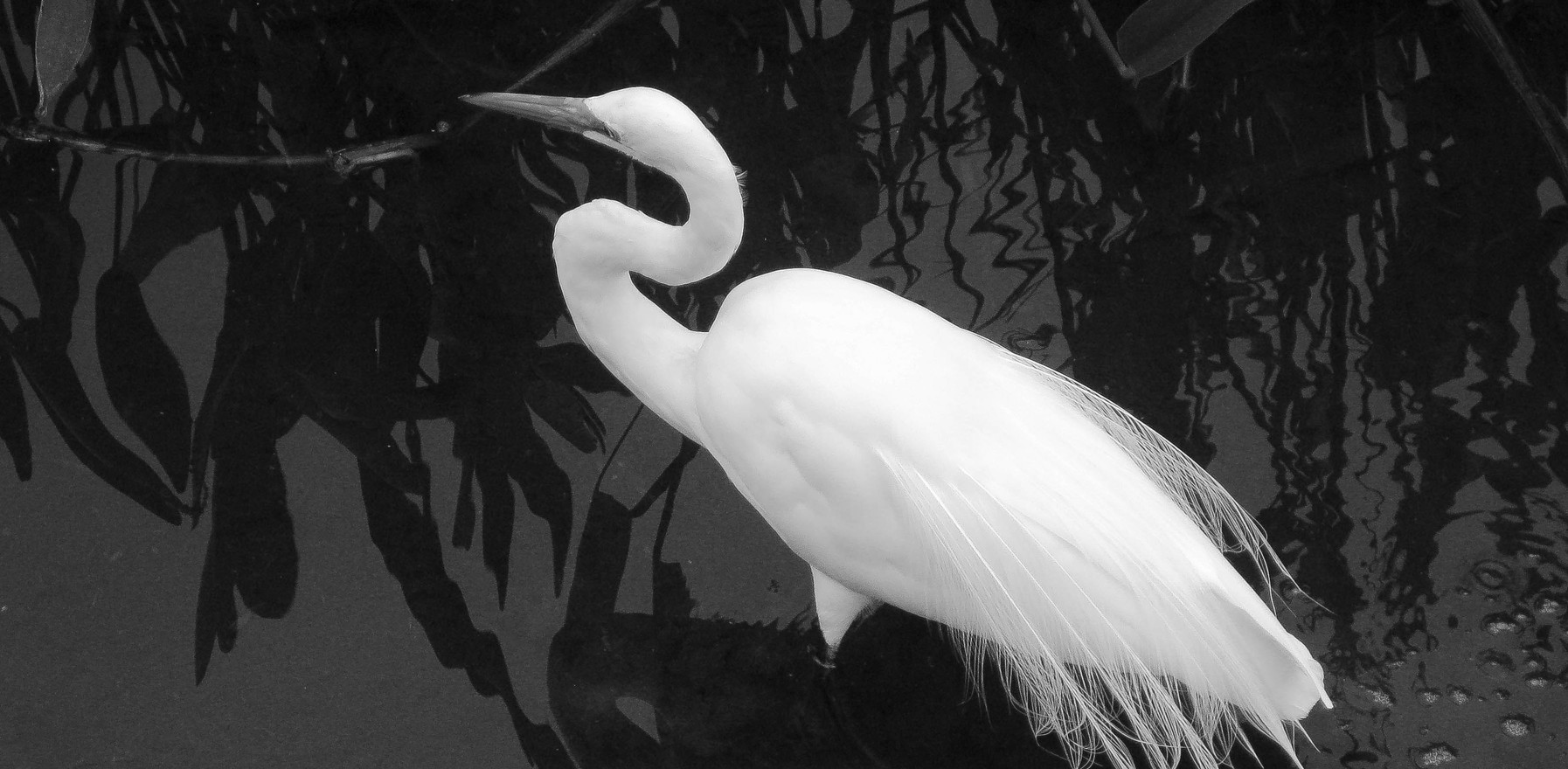 Black and White Great Egret  2