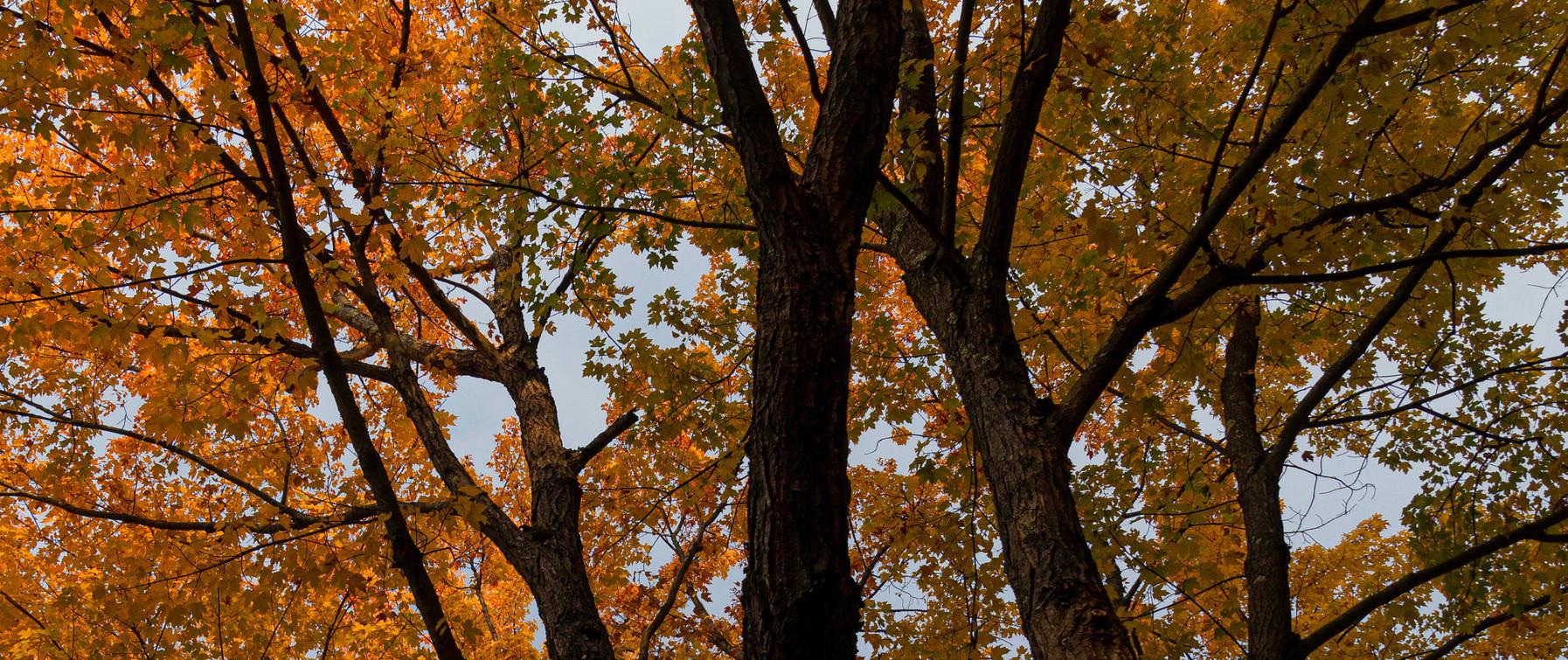 Autumn Maple 2