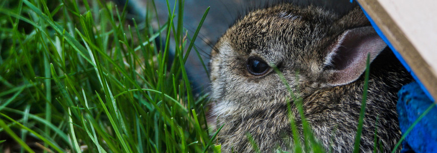 Bany Cottontail
