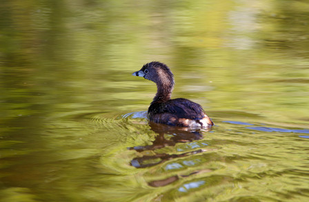 Pied Billed Grebe Swmming