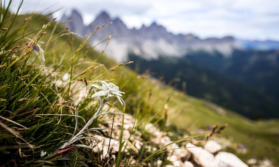 Edelweiß in den Dolomiten