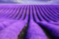 82406_lavenderflowersflowerweb10.jpg
