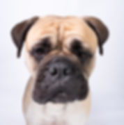 dog-portraits-herefordshire