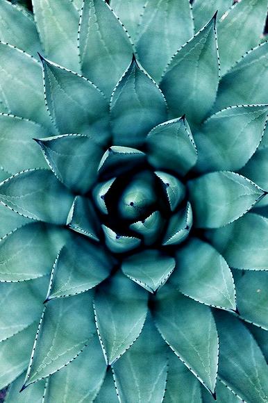 Cactus succ.png