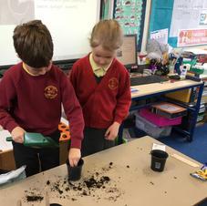 Planting sunflower seeds
