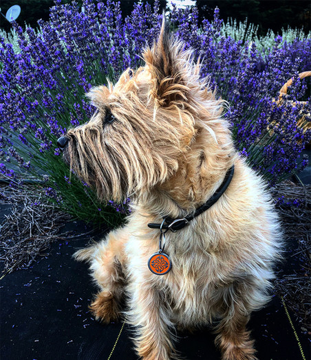 Brodie in the lavender