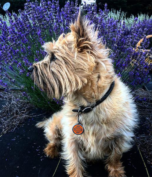Brodie in the lavender