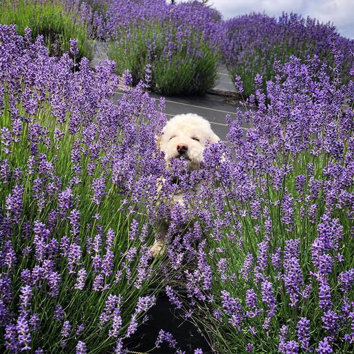 Sophia in the lavender