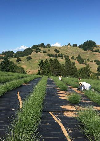planting the lavender