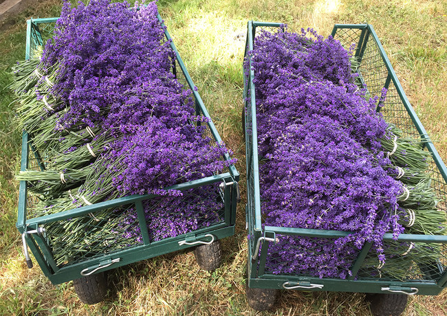 lavender wagons