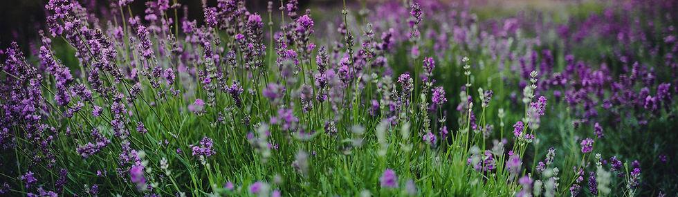 lavender_field_bloom20.jpg