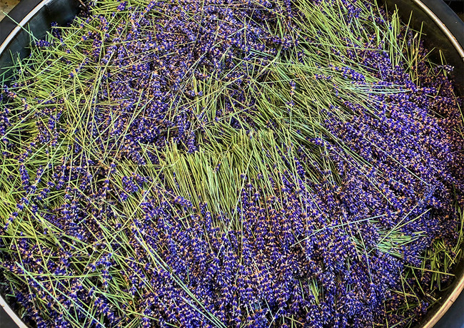 lavender in the still