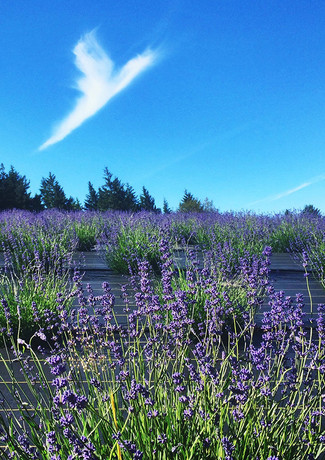 angel cloud over the lavender fields