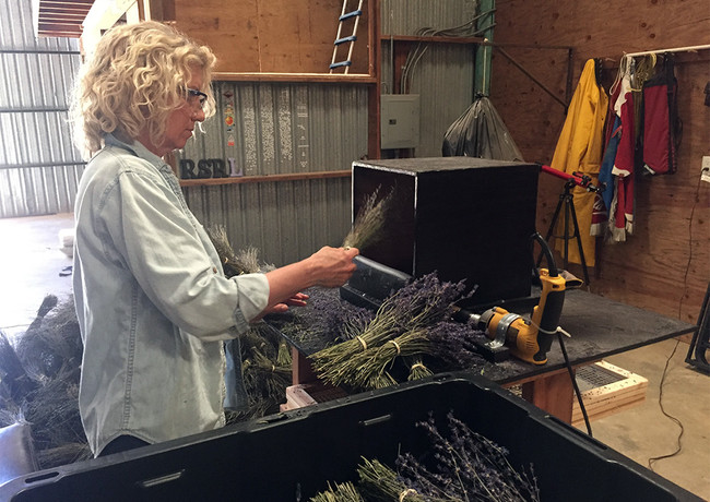 stripping the lavender buds