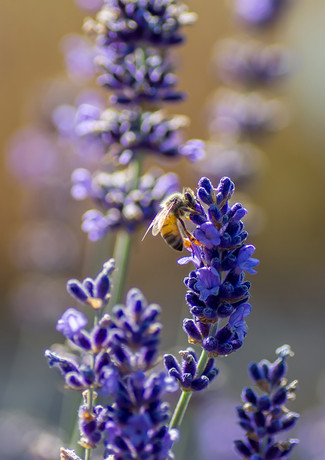 lavender and bees