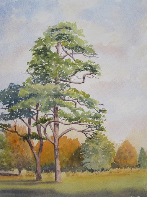 'Scots Pine' 26x36cm Watercolour Framed