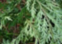 cedar leaf.jpg