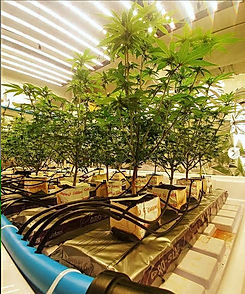 Consulting for hydroponics grow.jpg