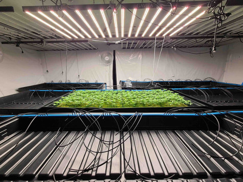LED lights over cannabis seeds.jpg
