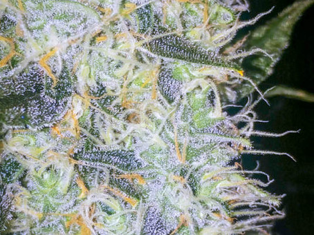 How To Properly Ripen & Flush Cannabis