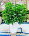 Hydroponics plant in grow room