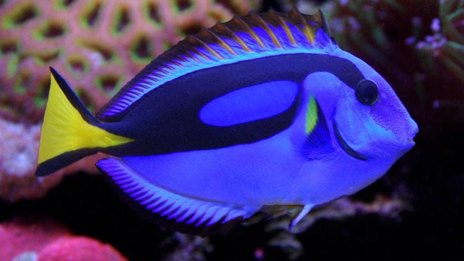 Yellow Belly Blue African Hippo Tang