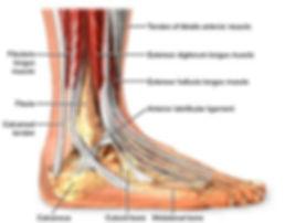 diagram of human foot