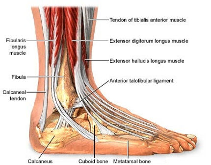 diagram of human foot