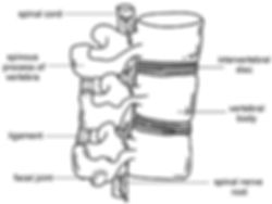Diagram of the human spine