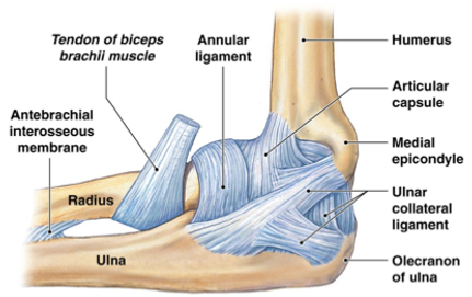 Diagram of human elbow