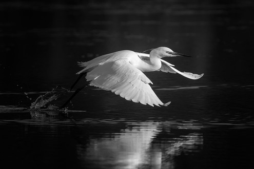 'Little Egret' by Jonny Andrews - Accepted