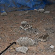 Reste de nids de guêpes/polistes